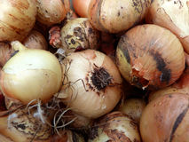 Onion harvest Royalty Free Stock Images