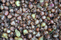 Onion harvest Stock Images