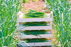 Onion harvest stacked in wooden basket boxes Stock Photography