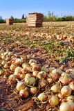 Onion harvest in Valencia Spain huerta Stock Photos
