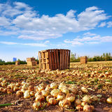 Onion harvest in Valencia Spain huerta Stock Photography