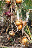 Onion harvesting. By hand at late summer Stock Photo