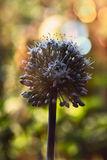 Onion head. Onion flower head against the sun Royalty Free Stock Images