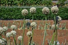 Onion head. Flower bud elongates when the temperature rises and the day becomes long. This is onion head stock photos