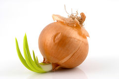 Onion leaves Royalty Free Stock Images
