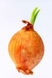 An onion Royalty Free Stock Images