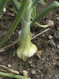 Onion organic garden Stock Photography