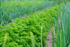 Onion and parsley growing Stock Image