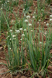 Onion plant. Onion, Allium cepa, Alliaceae, bulbous herb with linear hollow leaves and white flowers in an umbel on a scape, bulb used as salad, in cooking stock images