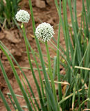 Onion plant. Onion, Allium cepa, Alliaceae, bulbous herb with linear hollow leaves and white flowers in an umbel on a scape, bulb used as salad, in cooking royalty free stock images