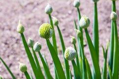 Onion plant Royalty Free Stock Photos