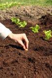 Onion plant in fresh soil. Onion to plant in fresh garden soil Royalty Free Stock Photo