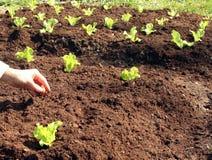Onion plant in fresh soil. Onion to plant in fresh garden soil Stock Photo