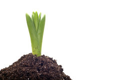 Onion plant growing Stock Images