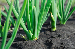 Onion plantation Royalty Free Stock Photo