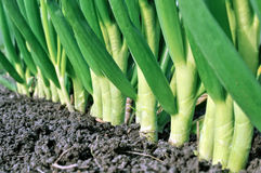 Onion plantation Stock Photography