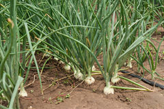 Onion plantation Stock Images