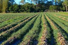 Onion plantation. A onion plantation ready to harvest Stock Photos
