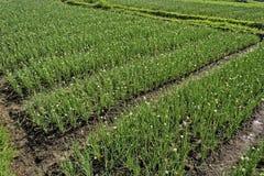 Onion Plantation Royalty Free Stock Images