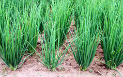 Onion plantation in the vegetable Royalty Free Stock Photos