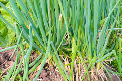 Onion plantation Stock Photos