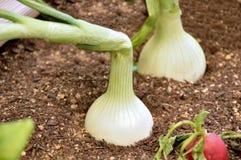 Onion plantation Royalty Free Stock Image