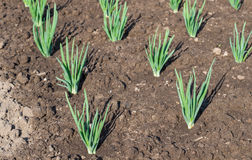 Onion plantation at the vegetable garden Royalty Free Stock Image