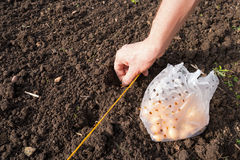 Onion Planting Royalty Free Stock Photos