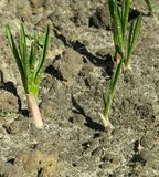 Onion plants Stock Images