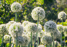 Onion plants in the garden. Onion plant naturally flowers once every two years Stock Photo