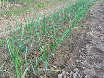 Onion plants in rows in the garden Stock Photos