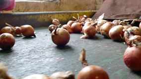 Onion on the Production Line. Workers on the conveyor belt select  of the domestic red onion stock footage