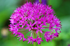 Onion purple bloom Stock Photography