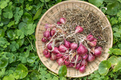 Onion red color in basket Royalty Free Stock Photos