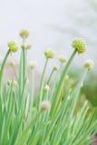Onion's flower Stock Photo