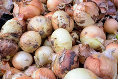 Onion. Royalty Free Stock Photography