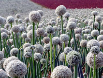 Onion seed field Royalty Free Stock Photo
