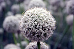 Onion seed flower Royalty Free Stock Photos