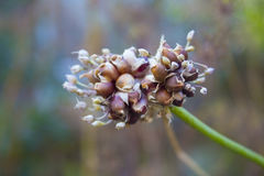 Onion Seed Flower on a blurred bacground. Close-up Stock Photography