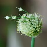 Onion Seed Head stock images