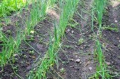 Onion seeding Royalty Free Stock Photo