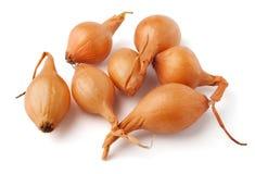 Onion seedling Royalty Free Stock Image