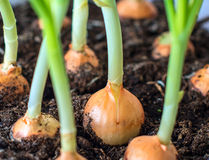 Onion seedlings. Stock Images