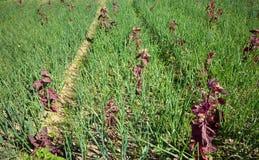 Onion seedlings Stock Image