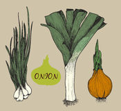 Onion. Set f illustrations Royalty Free Stock Photo