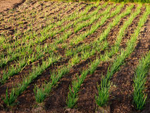 Onion Shoots in Spring Stock Images