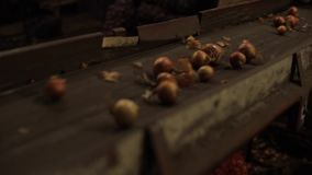 Onion sorting, processing and packing factory. Onion moving on a tractor conveyor, close up. Sorting vegetables stock video footage