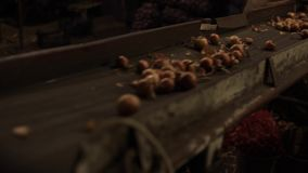 Onion sorting, processing and packing factory. Onion moving on a tractor conveyor, close up. stock footage