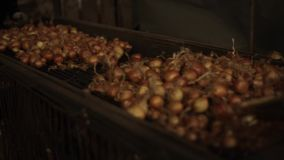 Onion sorting, processing and packing factory. Onion moving on a tractor conveyor, close up. Sorting vegetables stock footage