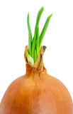 Onion spring close-up Royalty Free Stock Photography